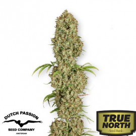 Jorge's Diamond Feminized Seeds (Dutch Passion)