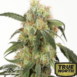 Pamir Gold Feminized Seeds (Dutch Passion)