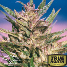 Passion #1 Feminized Seeds (Dutch Passion)