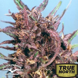 Purple #1 Feminized Seeds (Dutch Passion)