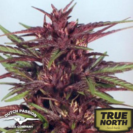 Twilight Feminized Seeds (Dutch Passion)