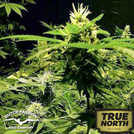 Masterkush Feminized Seeds (Dutch Passion)