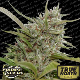 White Berry Feminized Seeds (Paradise Seeds)