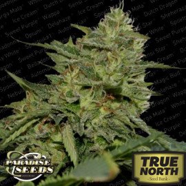Original Cheese (IBL) Feminized Seeds (Paradise Seeds)