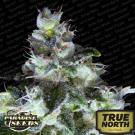 Original White Widow (IBL) Feminized Seeds (Paradise Seeds)