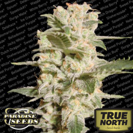 Bella Donna Feminized Seeds (Paradise Seeds)