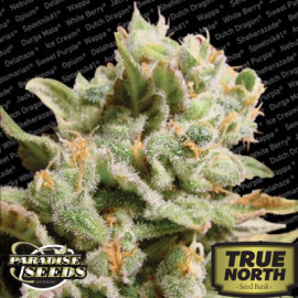 Dutch Dragon Feminized Seeds (Paradise Seeds)
