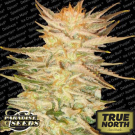Ice Cream Feminized Seeds (Paradise Seeds)