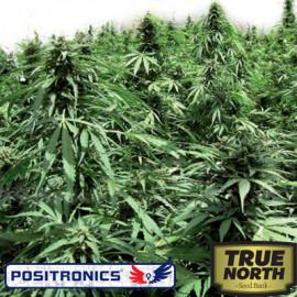 Afghan Express Autoflowering Feminized Seeds (Positronics Seeds)