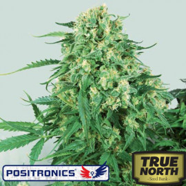 Caramel Ice Feminized Seeds (Positronics Seeds)