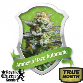 Amnesia Haze Automatic Feminized Seeds (Royal Queen Seeds)