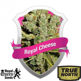 Royal Cheese Automatic Feminized Seeds (Royal Queen Seeds)
