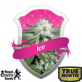 Ice Feminized Seeds (Royal Queen Seeds)