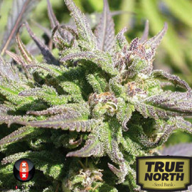 Biddy Early FEMINIZED Seeds (Serious Seeds)