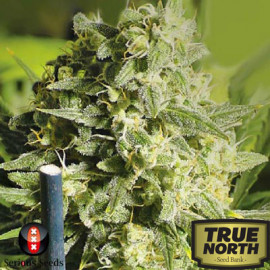 Double Dutch REGULAR Seeds (Serious Seeds)