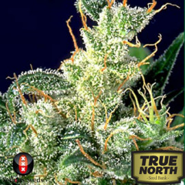 Kali Mist REGULAR Seeds (Serious Seeds)
