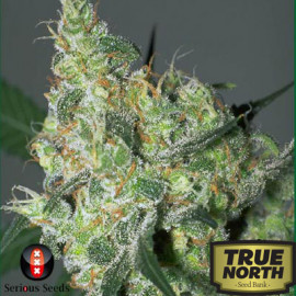 White Russian REGULAR Seeds (Serious Seeds)