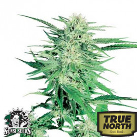 Big Bud Feminized Seeds (Sensi Seeds)
