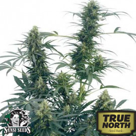 Guerrilla's Gusto REGULAR Seeds (Sensi Seeds)