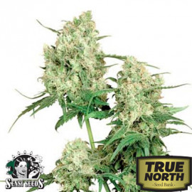 Maple Leaf Indica REGULAR Seeds (Sensi Seeds)