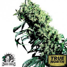 Northern Lights #5 x Haze REGULAR Seeds (Sensi Seeds)