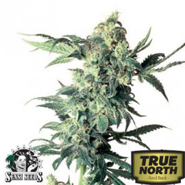 Northern Lights Feminized Seeds (Sensi Seeds)