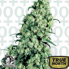 Skunk #1 Feminized Seeds (Sensi Seeds)