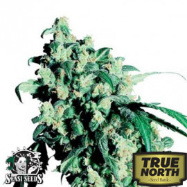 Super Skunk Feminized Seeds (Sensi Seeds)