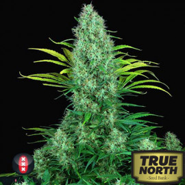 Serious 6 FEMINIZED Seeds (Serious Seeds)