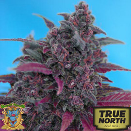 Dark Devil Auto Feminized Seeds (Sweet Seeds)