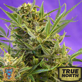 Double White Feminized Seeds (Sweet Seeds) *DISCONTINUED*