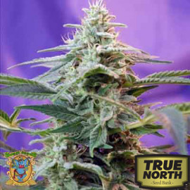 Sweet Special Auto Feminized Seeds (Sweet Seeds)