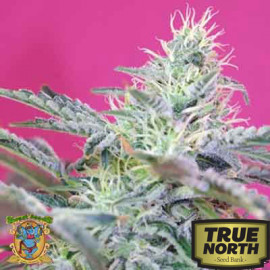 Sweet Cheese FAST Version Feminized Seeds (Sweet Seeds)