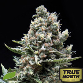 Nefertiti FEMINIZED Seeds (Pyramid Seeds)