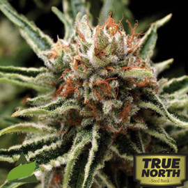 Shark FEMINIZED Seeds (Pyramid Seeds)