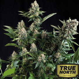 White Widow FEMINIZED Seeds (Pyramid Seeds)