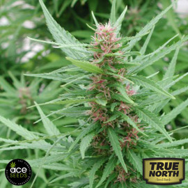 Ace Mix Feminized Seeds  (Ace Seeds)