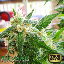 AUTO AK-48 FEMINIZED Seeds (Nirvana Seeds)