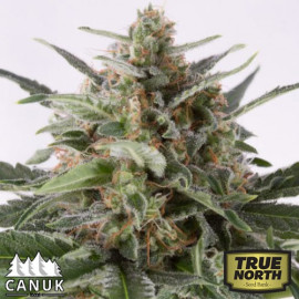 AK x Critical Mass AUTO FEMINIZED Seeds (Canuk Seeds)