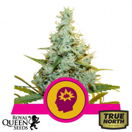 AMG - Amnesia Mac Ganja Feminized Seeds (Royal Queen Seeds)