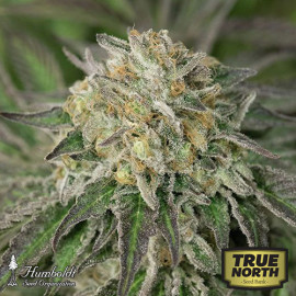 Amherst Sour Diesel Feminized Seeds (Humboldt Seed Org)