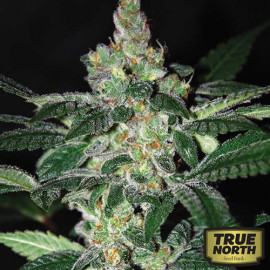 Amnesia Feminized Seeds (World of Seeds)