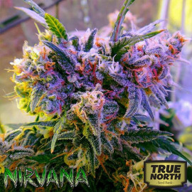 Aurora Indica FEMINIZED Seeds (Nirvana Seeds)