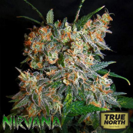 Aurora Indica REGULAR Seeds (Nirvana Seeds)