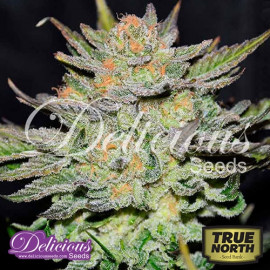 AUTO Blue Ace C.B.D. FEMINIZED Seeds (Delicious Seeds)