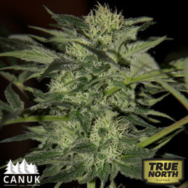 Auto Blueberry Feminized Seeds (Canuk Seeds)
