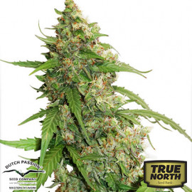 CBD Auto Compassion Lime Feminized Seeds (Dutch Passion)