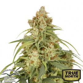 Auto CBD-Victory Feminized Seeds (Dutch Passion)