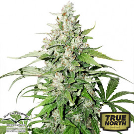 Auto Cinderella Jack Feminized Seeds (Dutch Passion)