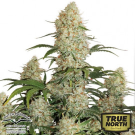 Auto Critical Orange Punch Feminized Seeds (Dutch Passion)